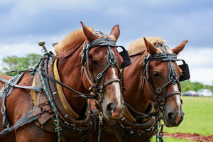 Pair of draft horses in harness